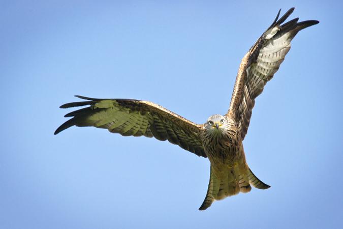 Red Kite in full flight