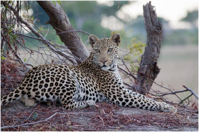 Beautiful Male Leopard