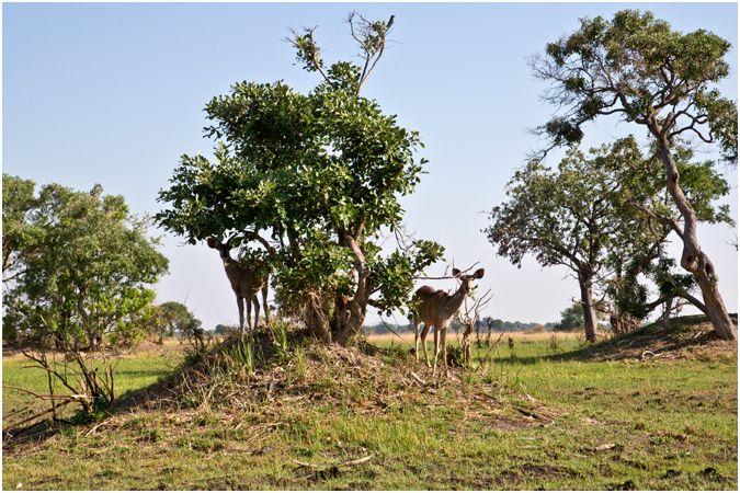 Shy Kudu