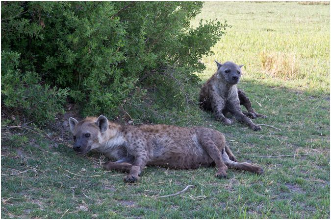 Hyena Couple Sheltering from the heat
