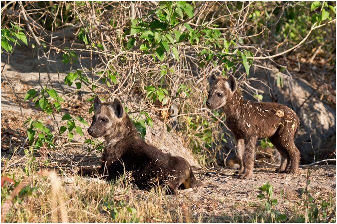 Hyena Cubs