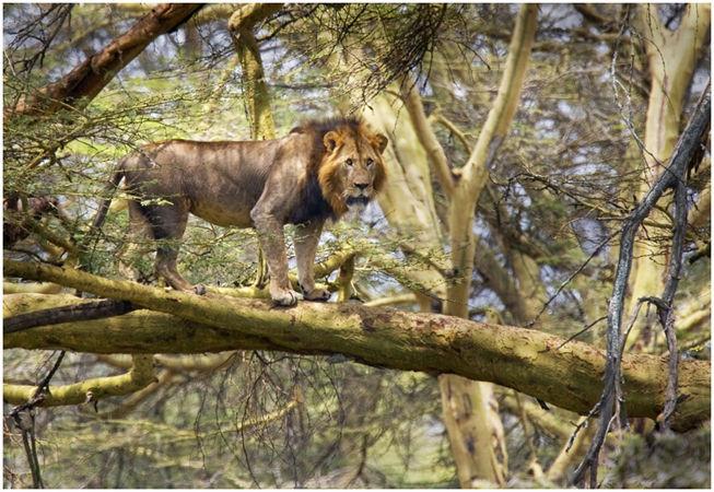 Lions do climb trees