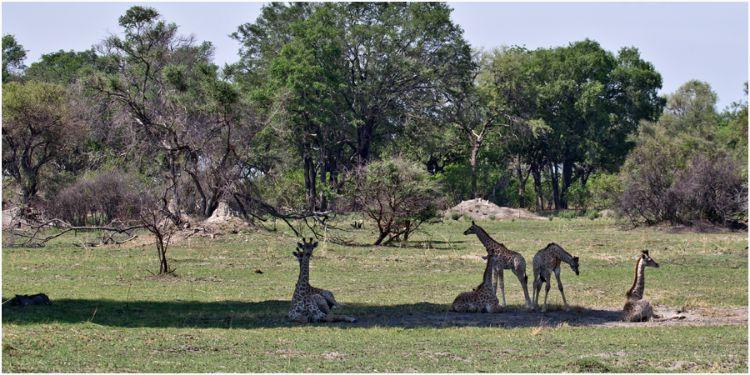 Six Young Giraffe