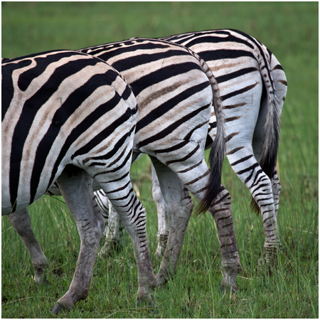 Plains Zebra trio