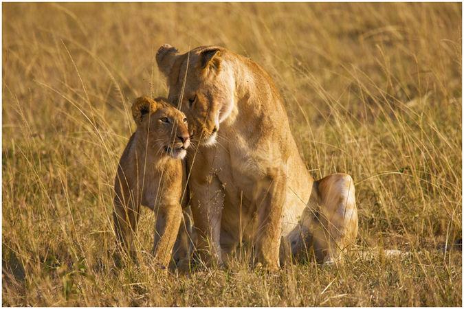 Lions greeting