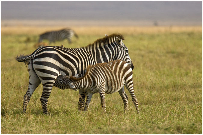 Zebra calf suckling