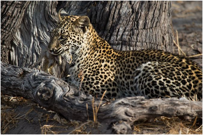 Young Leopard with a Ground Squirrel