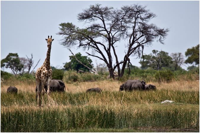 Giraffe with elephants