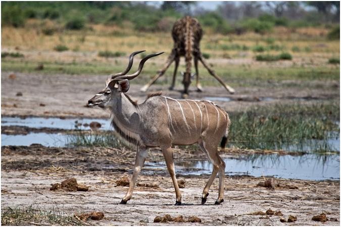 Male Kudu and Giraffe