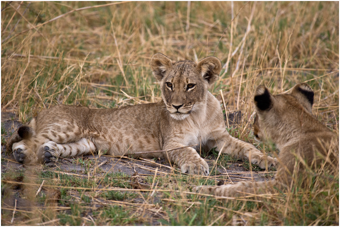 Young Cubs