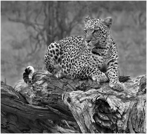 Leopard on Fallen tree