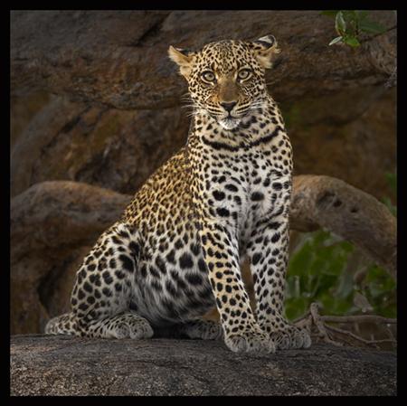 Adolescent male leopard