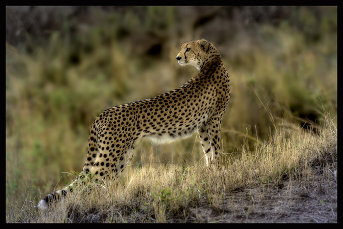 Lone Cheetah on the prowl