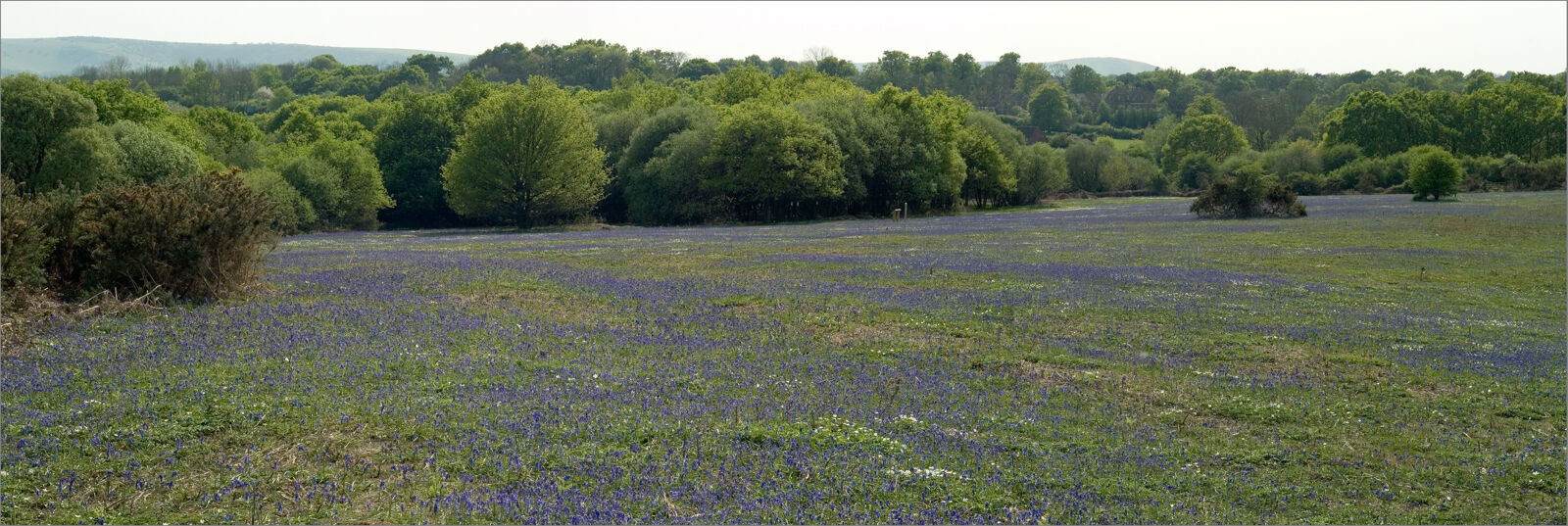 Spring time on Ditchling Common, Bluebells.