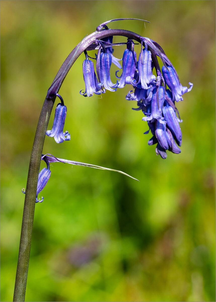 Bluebell, Hyacinthoides non-scripta.