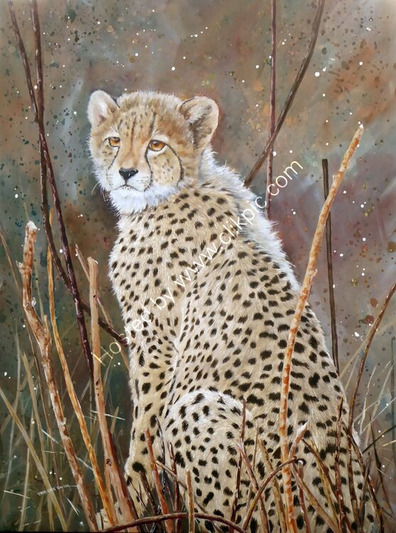 Cheetah cun at Pilansberg