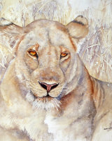 Lioness in Luangwa 2