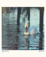City Swans