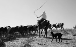 Driving cattle in Southern Kazakhstan
