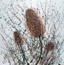 Teasels  (SOLD)