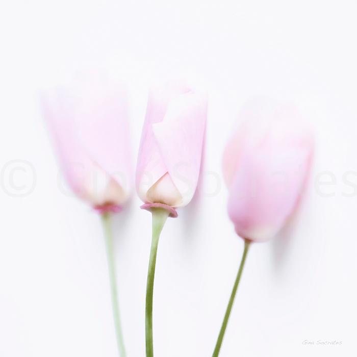 Californian Lilies