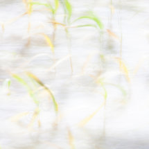 Grasses Blowing in the Wind 03