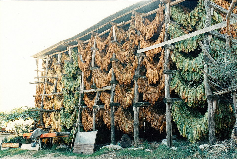Traditional tobacco drying shed 1963