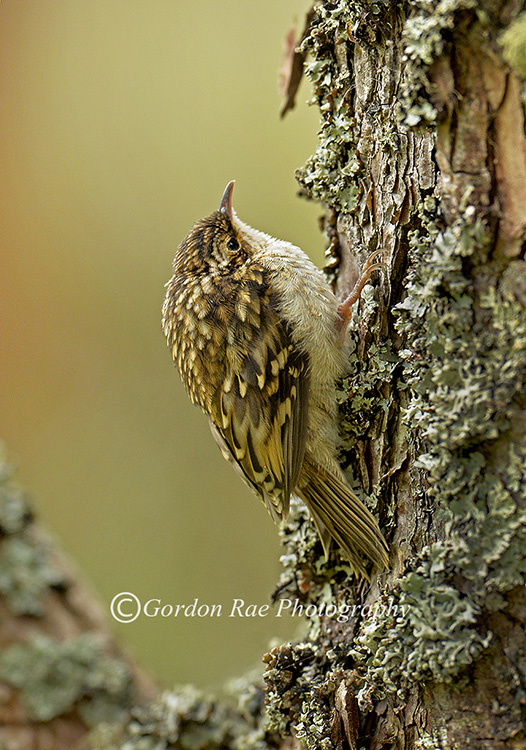 Juvenile Treecreeper