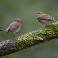 Adult and Juvenile Robin
