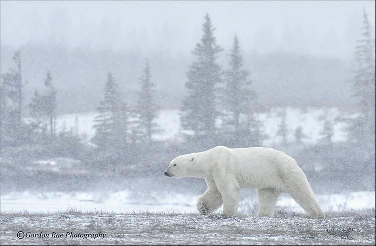 Bear in a Blizzard