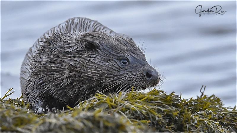 Mull Otter 4