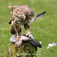 Buzzard with Pigeon