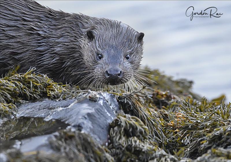 Mull Otter 1