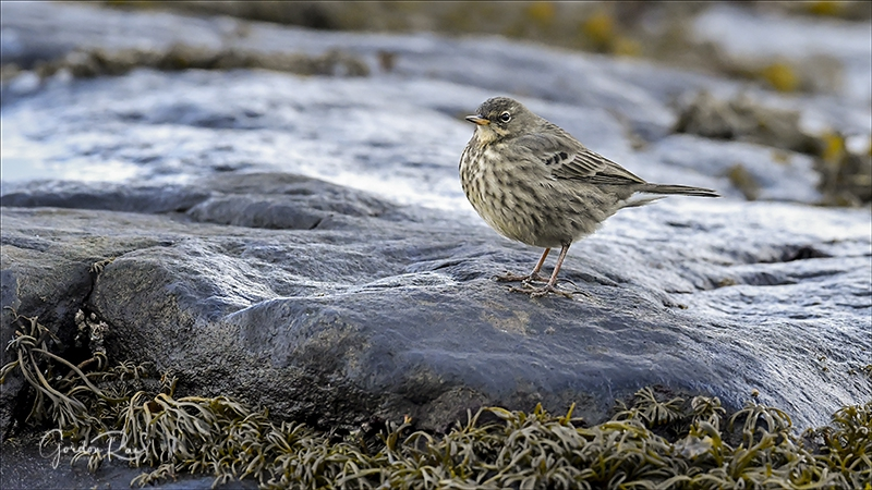Mull Rock Pipit