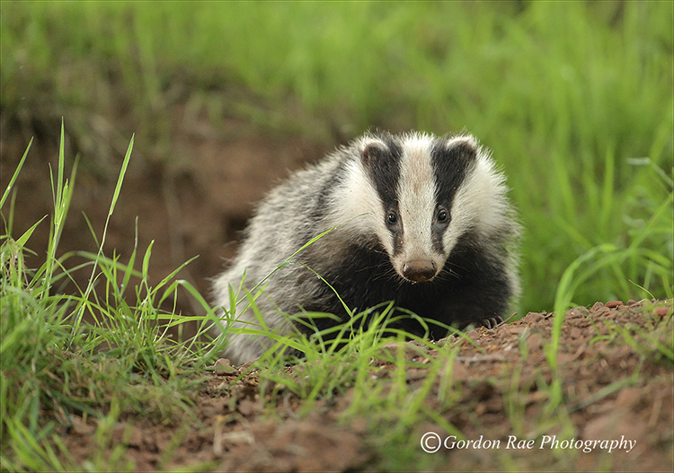 Badger Cub leaving Set