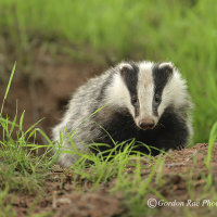 Badger Cub leaving Set