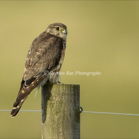 Wild Merlin in Evening Light