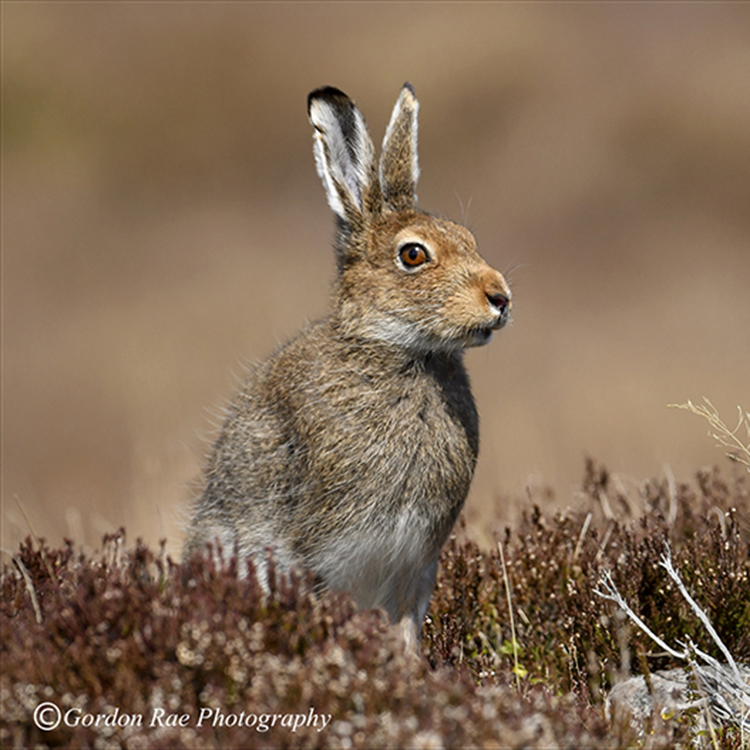 Mountain Hare in Spring