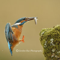 Kingfisher Return