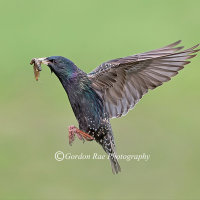 Starling with Grubs