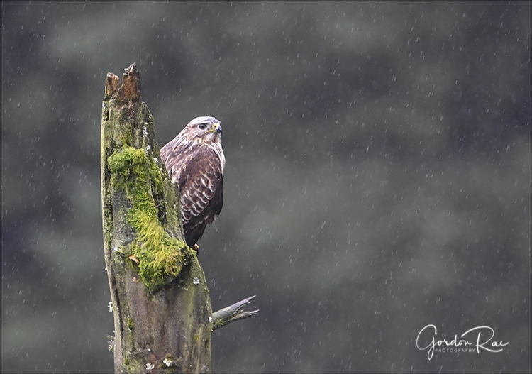 Buzzard in the Rain