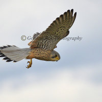 Kestrel Hunting 1