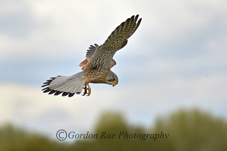 Kestrel Hunting 2