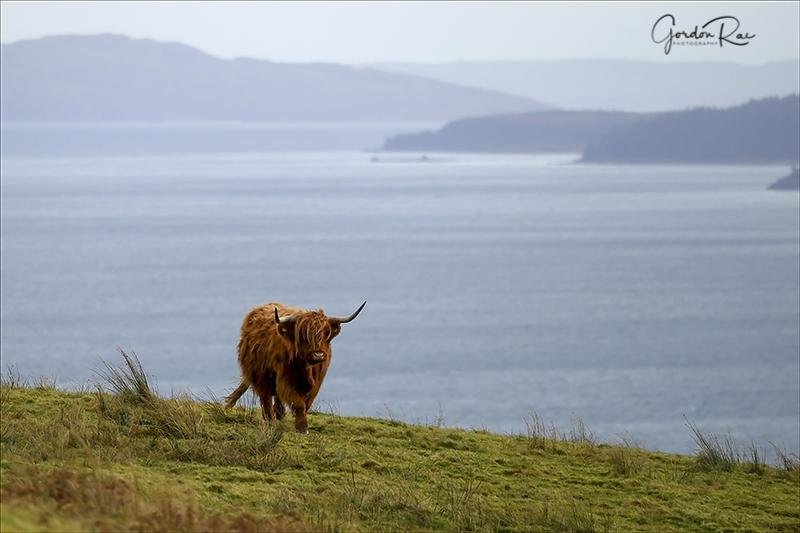 Mull Highlander