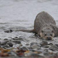Mull Otter 10