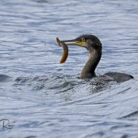 Shag with Butterfish
