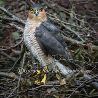 Male Sparrowhawk in Hedge