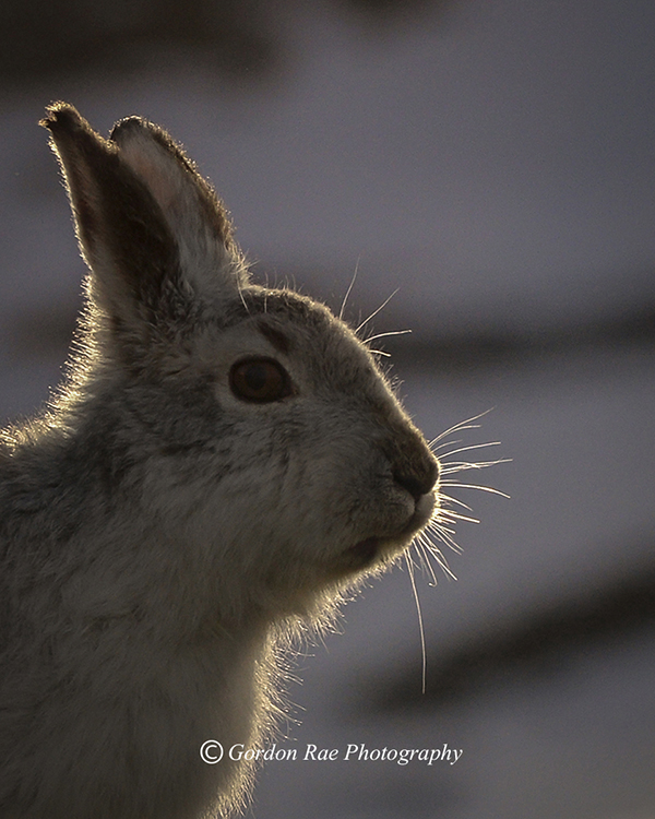Mountain Hare Portrait