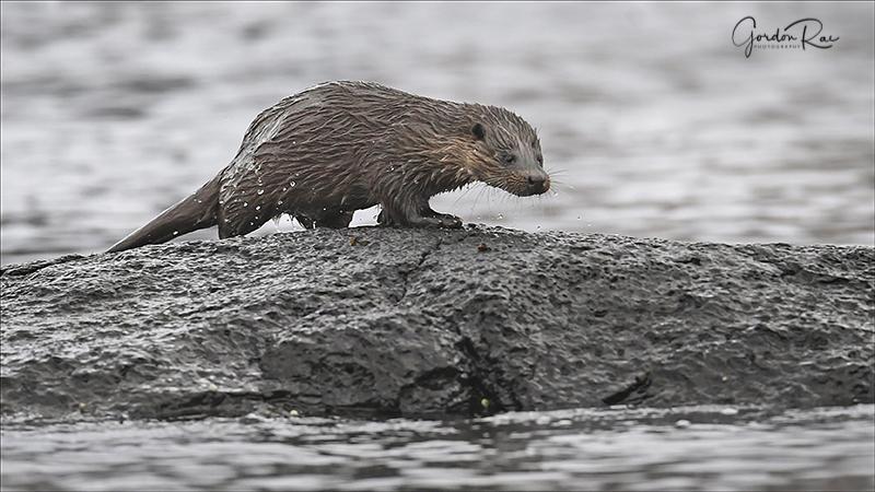 Mull Otter 5