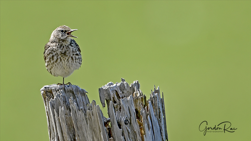 Rock Pipit Chick Singing